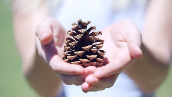 Pinecone resting in cupped hands